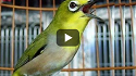 Rahasia Meningkatkan Burung Pleci Juara da Super Gacor