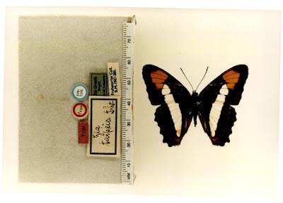 Mariposa zea (Adelpha zea)