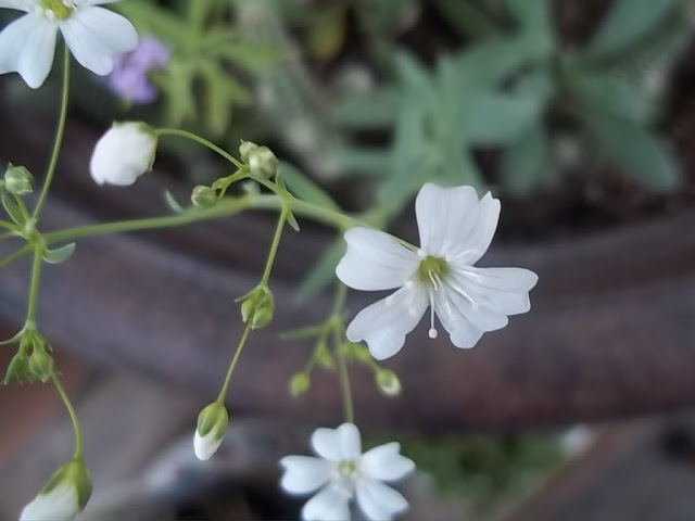 An image of the 'Showy' variety of Baby's Breath