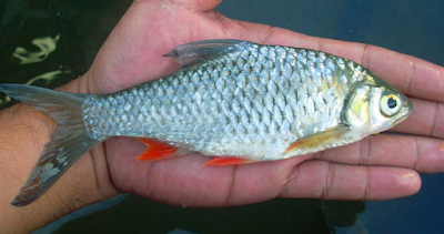 Alat Pernapasan Ikan Tambahan Selain Insang