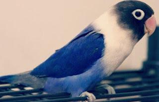 Jenis Lovebird Violet