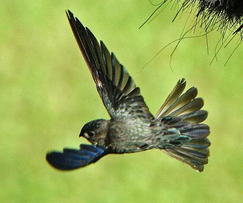 Indian birds - Glossy swiftlet - Collocalia esculenta