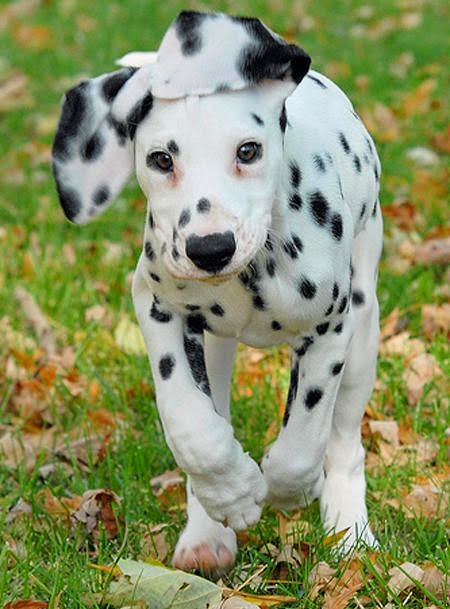 Dalmatian ...we'll have a Dalmatian plantation, where our population can grow ~ re-pinned by  http://cutepuppyanddog.blogspot.com/
