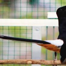 Cara Perawatan Burung Murai Batu Yang Kurang Gacor