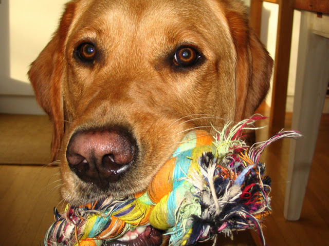 A labrador retriever with a rope toy in its mouth, looking at the camera