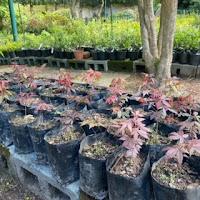 Bishopsford Bonsai pre-bonsai
