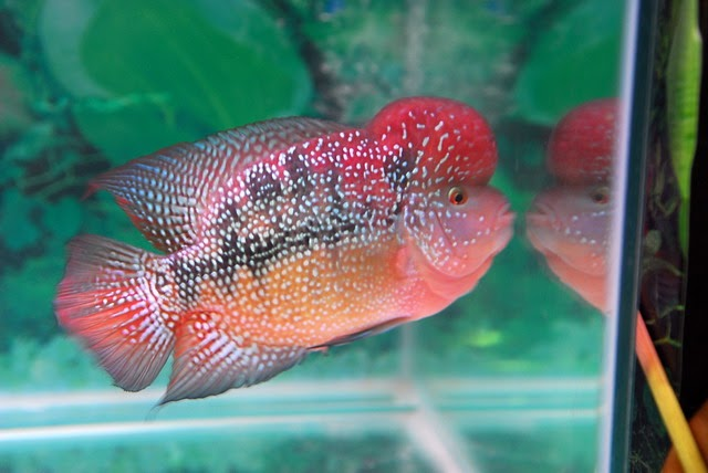 Flowerhorn The Hybrid Cichlids: Types of Flowerhorns By ...