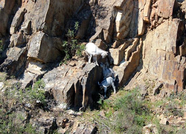 Cabras saltando