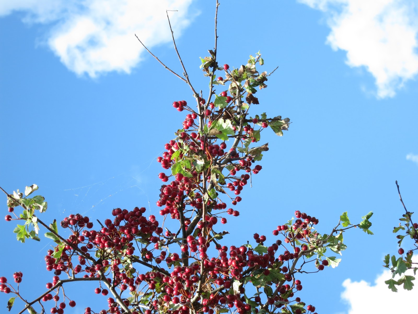 Bright red haws against blue sky with clouds