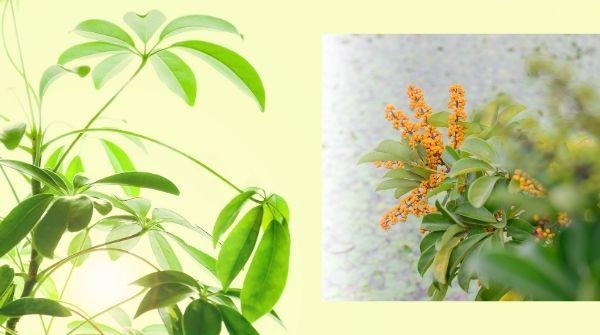 Schefflera arboricola develop as Indoor Bonsai