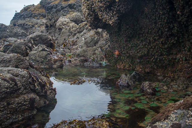 My Favorite Part Of These Cannon Beach Tide Pools Are The Starfish There Was A Sign Talking About How Have Been Affected By Some Disease And