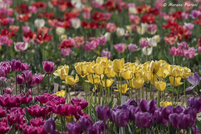 Moreno pieroni photographer tulipani italiani for Tulipani italiani
