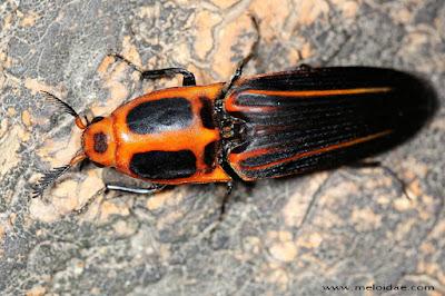 coleopteros argentinos Hemirhipus elegantissimus