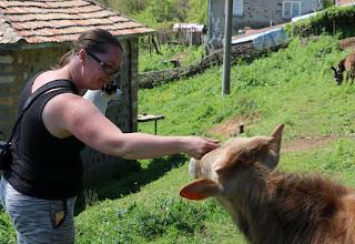 The neighbour's calves were very friendly