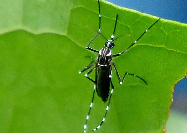 Resultado de imagem para mosquitos e pernilongos- imagens