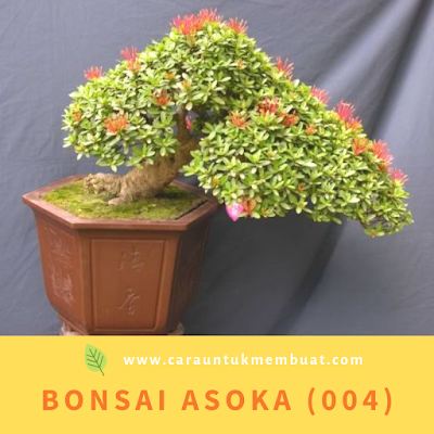 Bonsai Asoka (004)