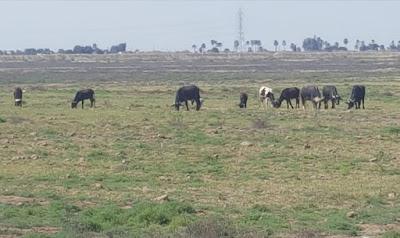 الزراعة تعلن معدل إنتاج اللحوم والاستهلاك المحلي لعام 2020