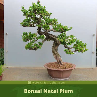 Bonsai Natal Plum