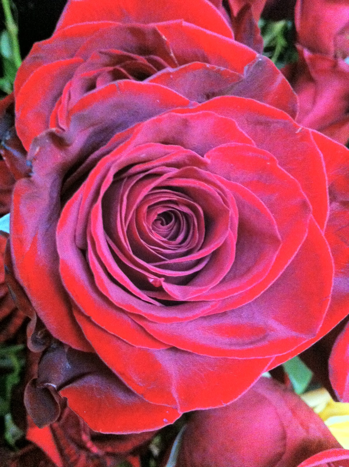 The Enchanted Petal: Lovely is the Rose