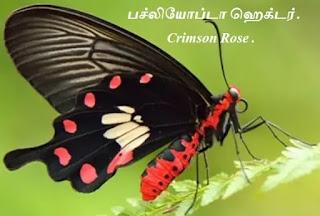 Pachliopta hector_Crimson Rose
