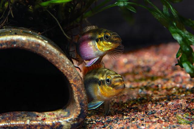 "Pelvicachromis subocellatus ""Moanda"" F1"