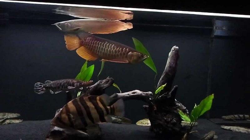 Gambar Dan Foto Teman Ikan Arwana Di Akuarium
