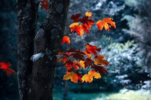 Red Autumn Leaves Of Black Tree