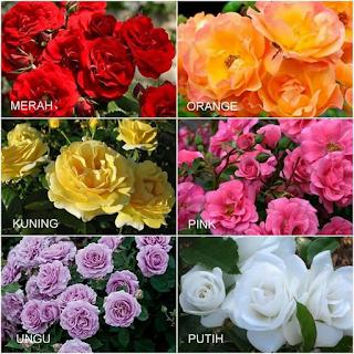 bibit-tanaman-bunga-mawar.png
