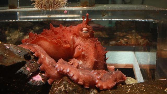 Phát hiện loài bạch tuộc khổng lồ mới ngoài khơi Alaska