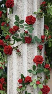 ورد لباب - ورد ينمو على الجدران لونه احمر