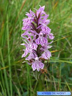 Dactylorhize tacheté - Orchis maculé - Orchis tacheté - Dactylorhiza maculata