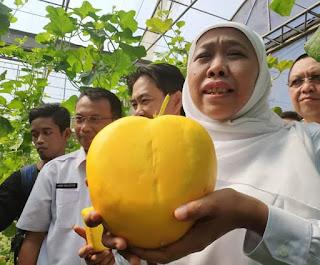 Khofifah Ajak Petani Melon Tanam Melon Prima