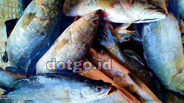 Depot Kakap Putih Ikan Pelak di Pantai Blanakan Subang Desa Muara Ciasem
