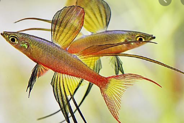 IKAN HIAS THREADFIN RAINBOWFISH