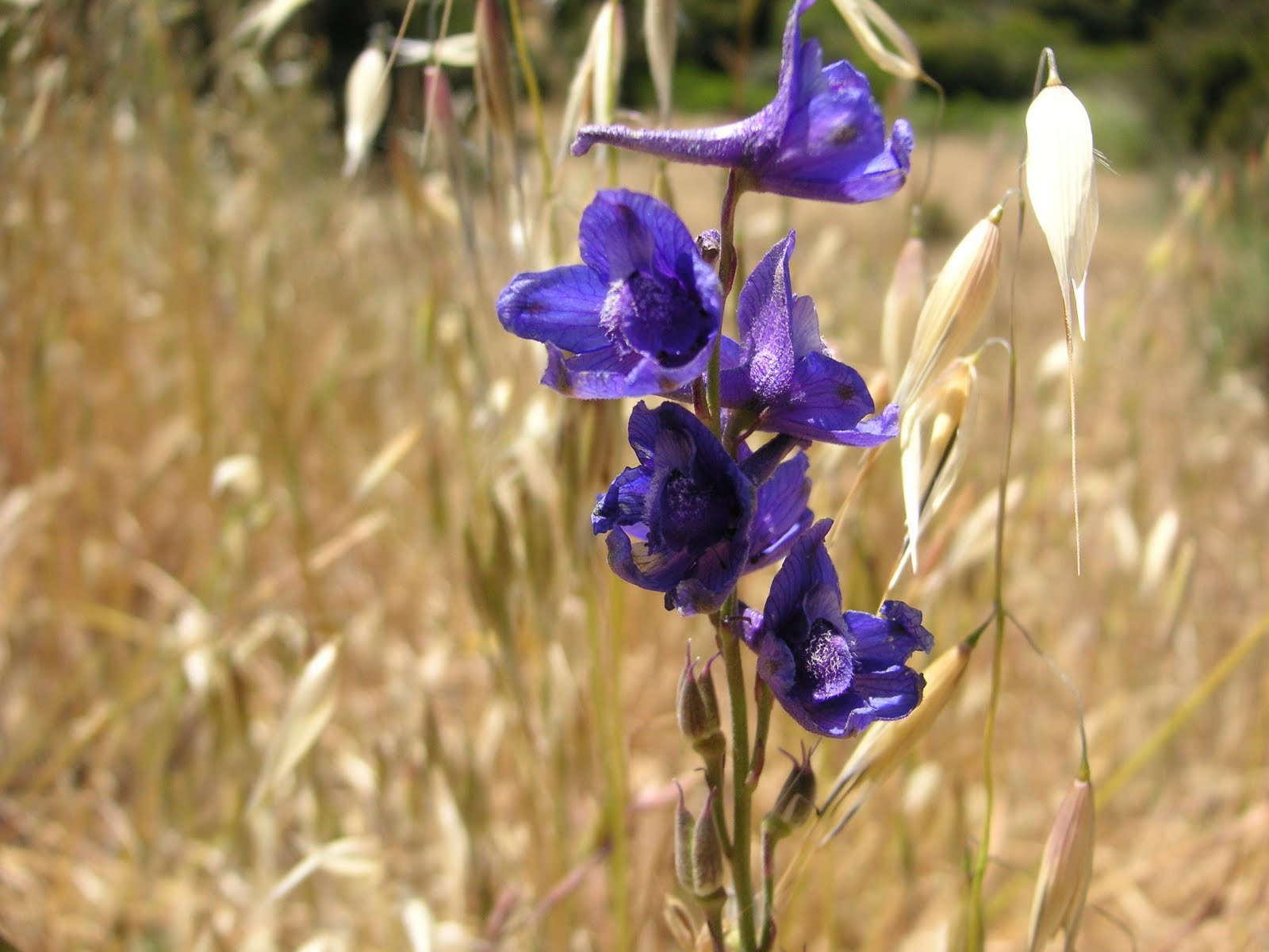 Nature Id Parry S Larkspur 06 02 11 Fort Ord