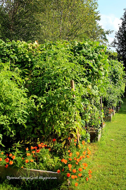 #Garden #GrowYourOwnFood #Chickens #Marigolds #RaisedBeds #OrganicGardening #Tomatoes #Veggies #Overalls #Farmlifestyle #Farm #Greenbeans