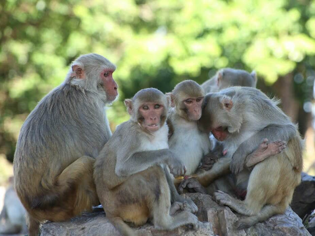 Đảo Cayo Santiago (Puerto Rico) là nơi trú ngụ của gần 1.000 con khỉ rhesus. Chúng là hậu duệ của hơn 400 con khỉ được nhập từ Ấn Độ vào năm 1938 để phục vụ mục đích nghiên cứu khoa học. Hiện tại, hòn đảo là cơ sở nghiên cứu loài linh trưởng của một số tổ chức khoa học. Các chuyên gia thường chỉ làm việc tại đây vào ban ngày và sẽ trả lại không gian biệt lập dành cho loài khỉ khi màn đêm buông xuống.