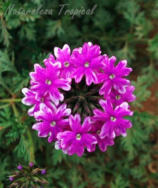 Variedad morada de las flores de una verbena