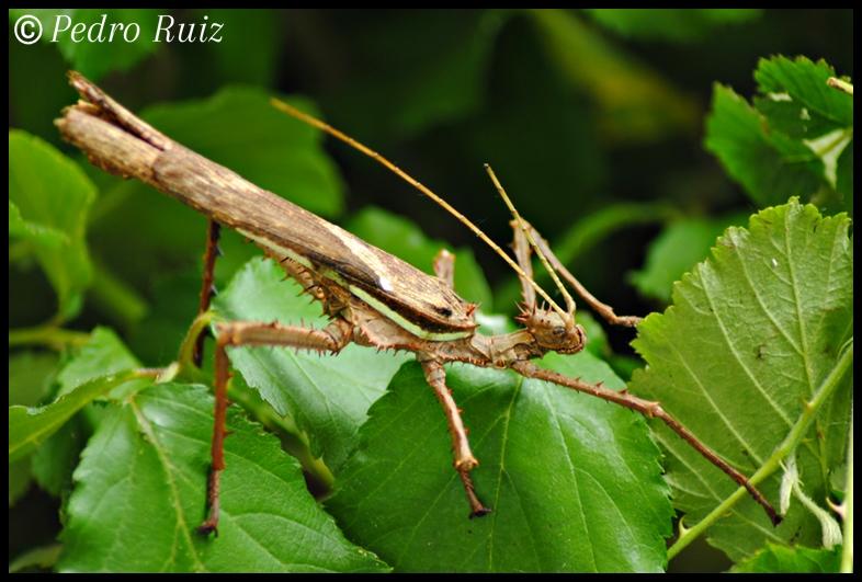 Macho adulto de Heteropteryx dilatata, 10 cm de longitud