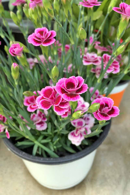 Dianthus Flower ideal for pots in your garden
