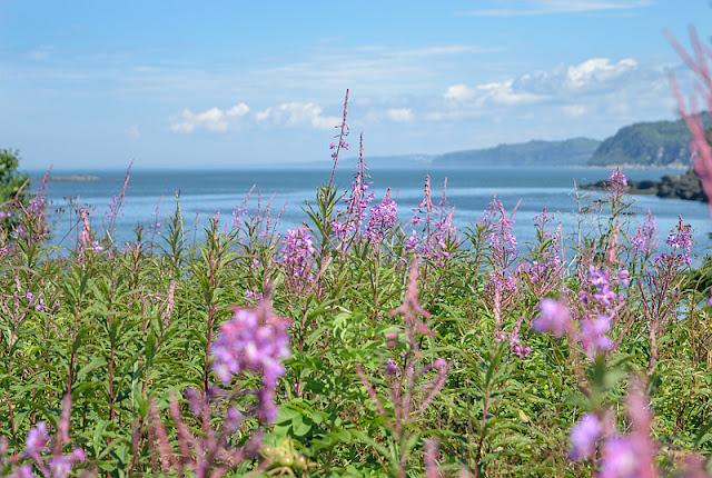 Épilobes en fleurs devant l'estuaire du Saint-Laurent