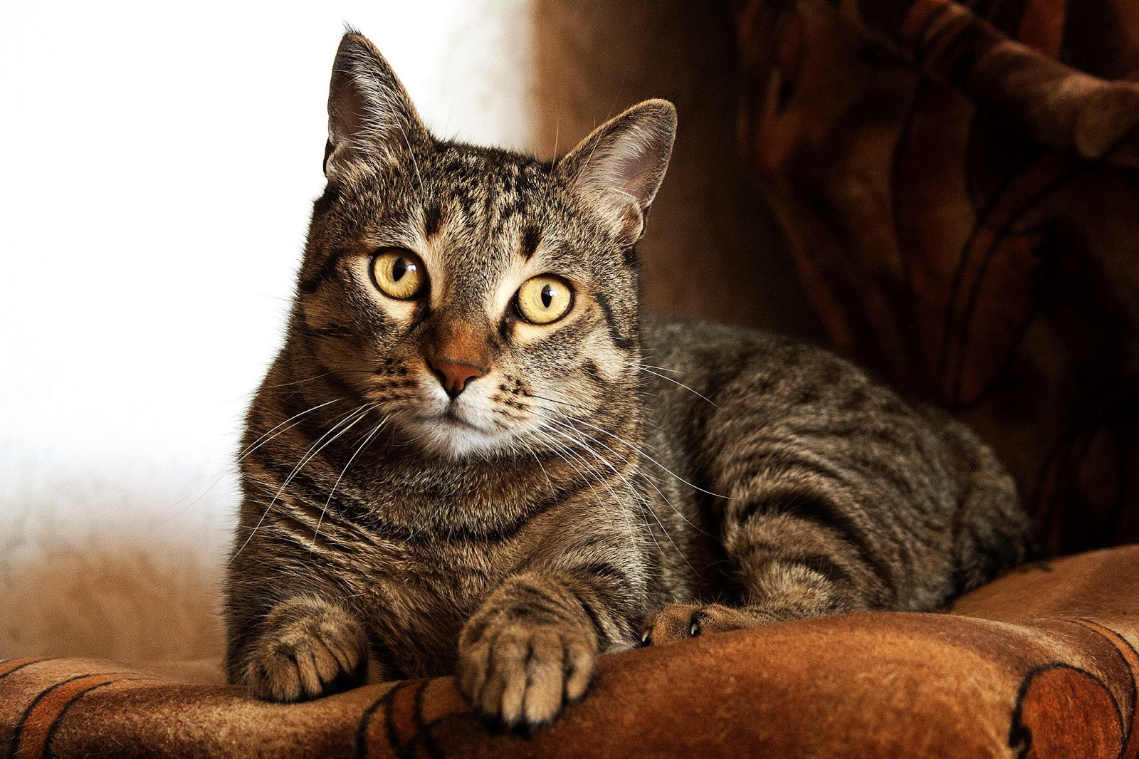 adult-brown-tabby-cat,cat images