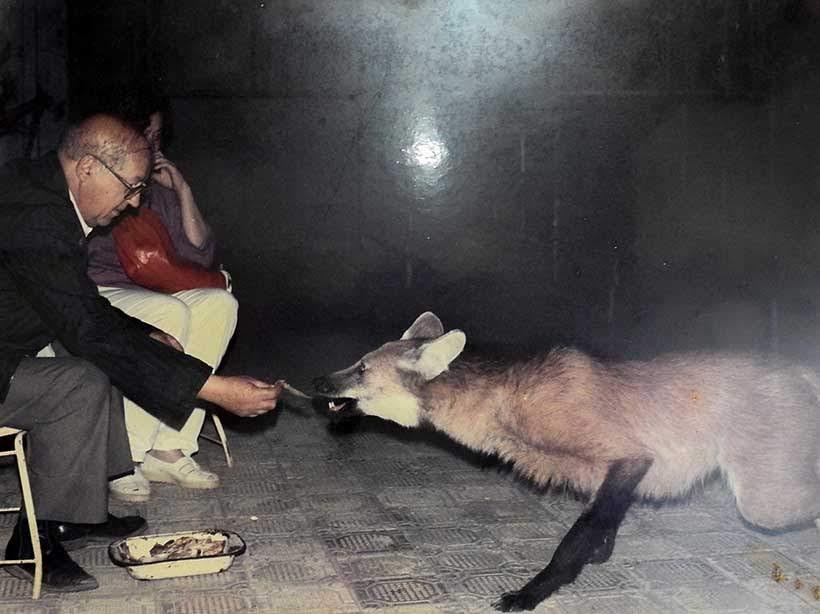 Lobo sendo alimentado no Santuário do Caraça: reprodução de uma foto no local