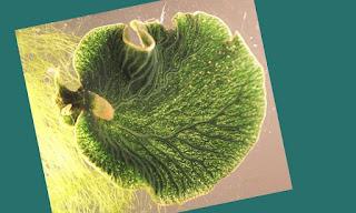 binatang berfotosintesis, siput fotosintesis, binatang seperti tanaman bisa berfotosintesis, teknologi fotosintesis