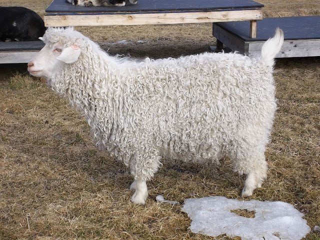 Pygora Goat Images, Milk, Weight, Size, Characteristics, Breed, Price