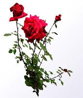 mawar merah - www.jasataman.co.id