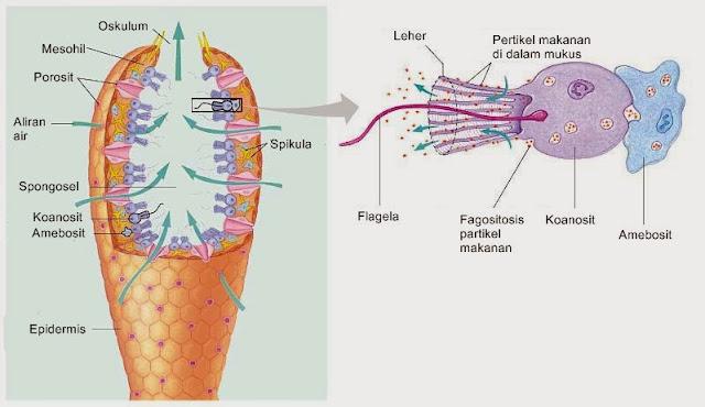 bagian tubuh spons