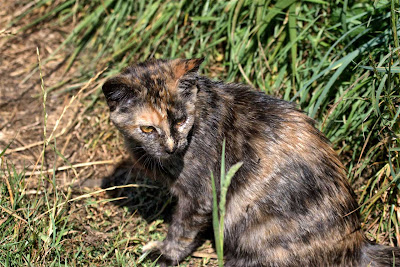 rescued tortie kitten, one of twins, looking for a home. Has been spayed