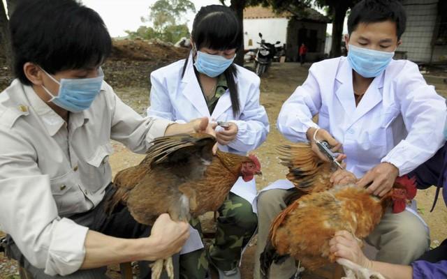 Nghệ An: Xuất hiện ổ dịch cúm A/H5N6 khả năng cao lây lan sang người, tỷ lệ tử vong gấp nhiều lần corona