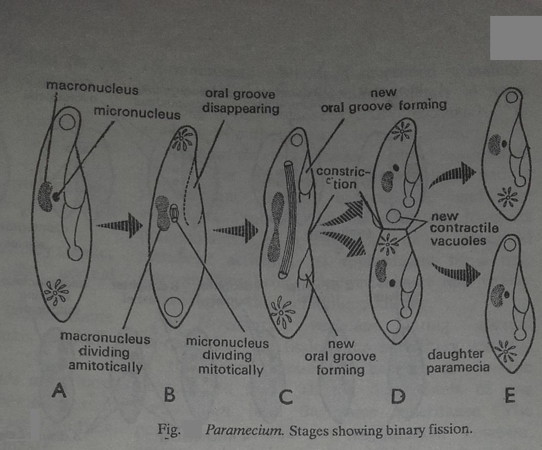 macronucleus and micronucleus in paramecium